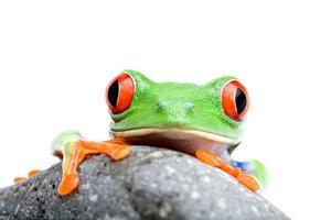 Frosch schaut über Felsen isoliert foto