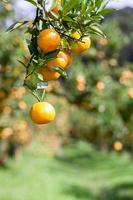 Orangenbaum foto