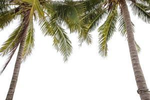 Kokosnussbaum foto