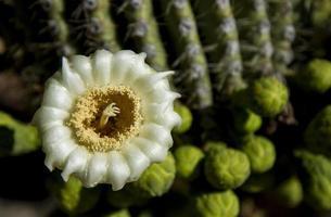 Saguaro-Blüte foto