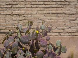 Tucson-Kaktus, Opuntia chlorotica foto