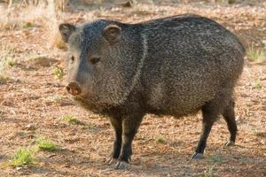 Nabelschwein foto