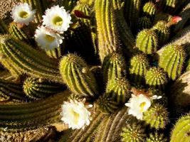 weiß blühender Pipestone-Kaktus in Tucson Az foto