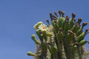 Kaktus en flor foto