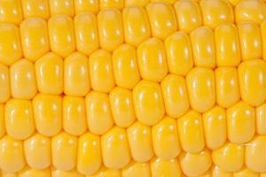 Hintergrund der gelben Maiskörner auf dem colb Makro foto