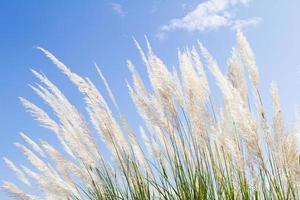 weiches weißes Federgras mit himmelblauem Hintergrund und Raum foto