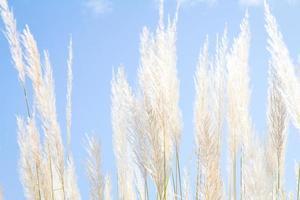weiches weißes Federgras mit himmelblauem Hintergrund und Raum