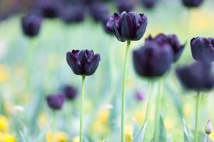 Tulpen, Frühling foto
