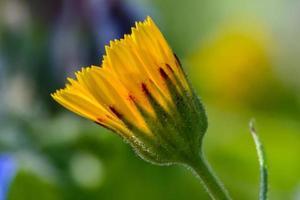 Frühlingsblume foto