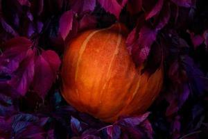 Kürbis zwischen Blättern wilder Trauben in der Nacht