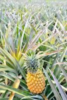 Ananasfarm