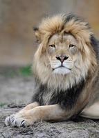 afrikanischer Löwe foto