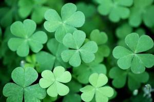 grüner Kleehintergrund foto