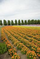 Reihe der Orangenblüte in farm1 foto