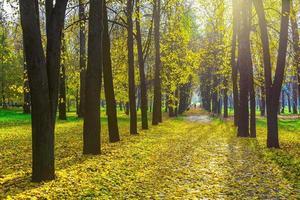 Reihe von Herbstbäumen zwischen gefallenem gelbem Laub