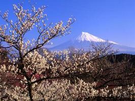 Pflaumenblüten iv foto