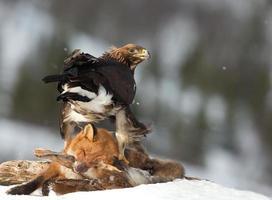 Steinadler im Winter foto
