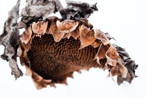 verwelkter Sonnenblumenkopf im Winter