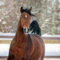 Bay Arab Horse im Winter foto