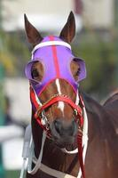 Pferdekopf mit lila Scheuklappen