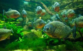 Piranha im Aquarium foto