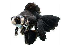 schöner Goldfisch lokalisiert auf weißem Hintergrund