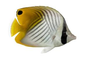 Seitenansicht eines Fadenflossen-Falterfisches, Chaetodon Auriga foto