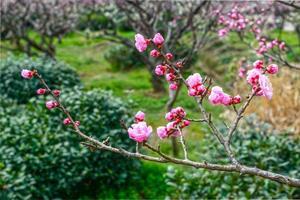 Pflaumenblüte im zeitigen Frühjahr foto
