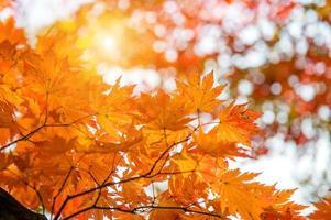 Ahornblatt im Herbst in Korea.