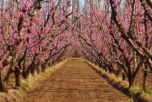 Pfirsiche pflanzen foto