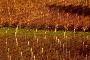 Weinberg im Herbst foto