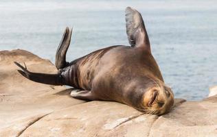 Seelöwe in La Jolla Bucht in Amerika foto