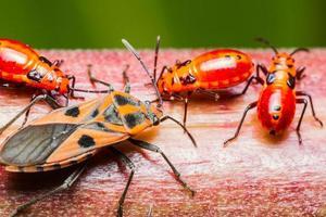 Familie Baumwolle Färber Bug foto