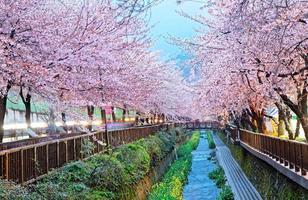 schöne Sakura-Blumen in Busan, Südkorea