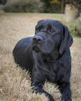 Porträt einer jungen Labrador Retrieverin foto