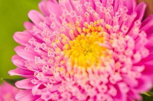 rosa Blume blühen.