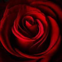 schöne rote Rose foto