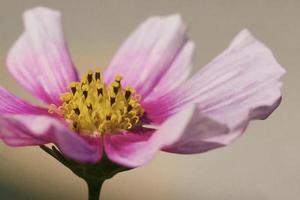 rosa Kosmosblüte foto