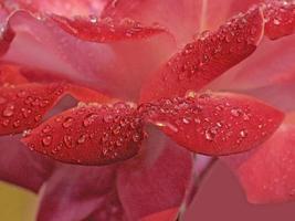 Tautropfen auf einer Rosenblume im Winter