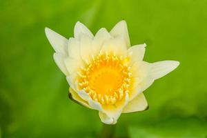 Lotus Blume.