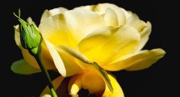Nahaufnahme einer grünen Knospe und einer gelben Rose foto