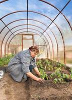 Tomatenpflanzen in den gemahlenen Gewächshäusern foto