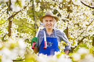 Mann Kirschbaumblüte Schnittschere foto