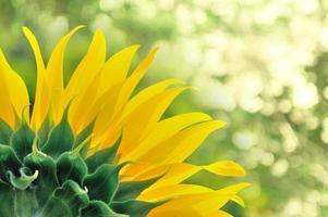 Sonnenblume hautnah foto