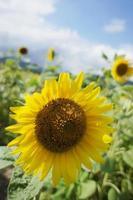 Sonnenblume aus nächster Nähe foto