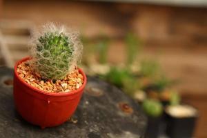 Nahaufnahme Kaktus foto