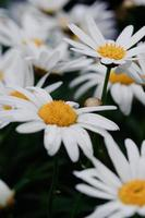 Chrysanthemen-Nahaufnahme foto
