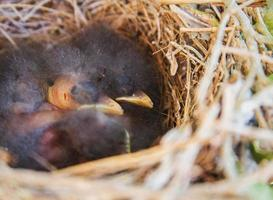 Baby Vogel Nahaufnahme foto