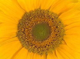 Sonnenblume hautnah