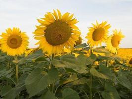 Morgens vier blühende Sonnenblumen